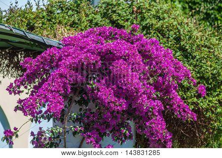 Red Blossoms Of Bougainvillea Spectabilis, Thessaloniki