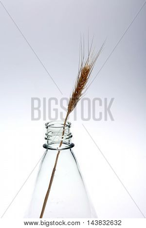 Hypodermic Needle Inject Wheat in a Laboratory to create Genetically modified crops aka GMCs, GM crops, or biotech crops, the DNA of which has been modified using genetic engineering techniques.