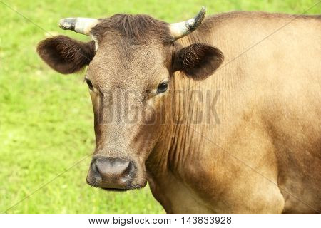 Single cow on the meadow