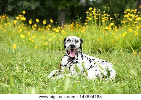 Dalmatian dog on a grass
