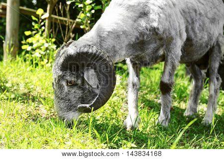 Ram on farm
