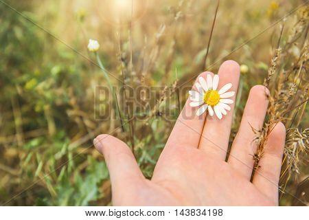 Woman holding chamomile, closeup