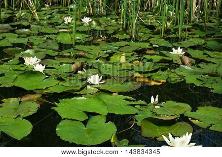 Water lily on lake