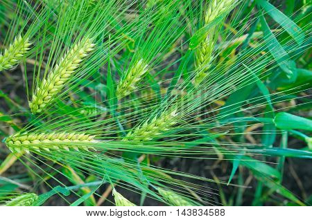 bright background of wheat ears and green plant