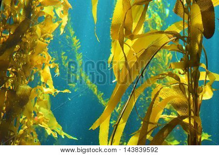 Kelp Plant Forest taken in the cold waters of the Pacific Ocean at the California Coast