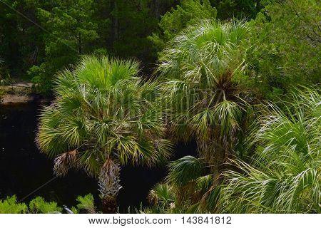 Many palm trees along a Florida canal