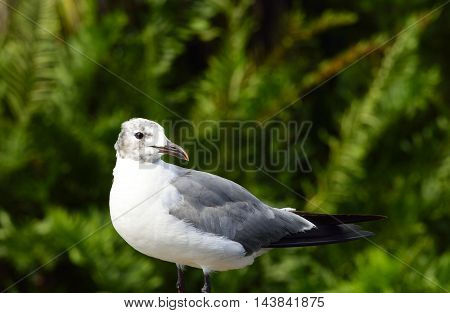 laughing gull (Larus Atricilla)  with green background