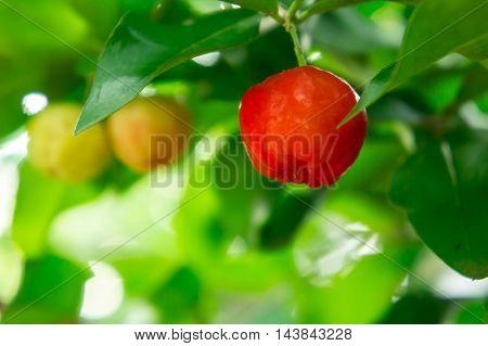 Acerola cherry, thai cherry tree and leaf.
