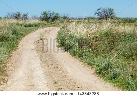 steppe in early summer. cane reed rush thatch frail. reeds growing along the road.