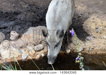 An adult boar taking a drink of water