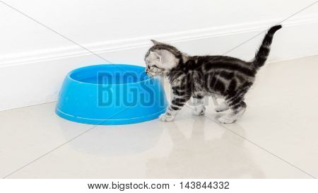American Shorthair Cat Waiting For Food With Copy Space