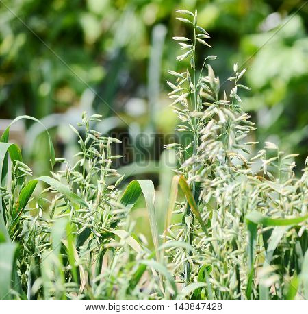 close up Oats growing in a field