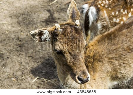 Face of a baby buck born and grown in captivity