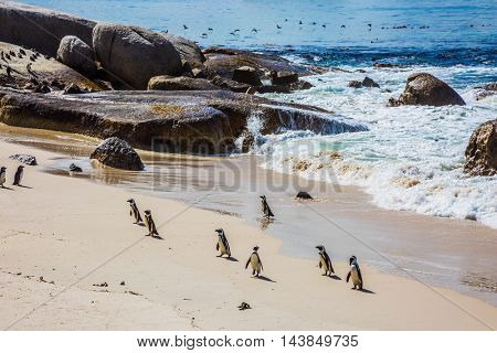 Boulders Penguin Colony in the Table Mountain National Park, South Africa. African black-white penguins. The concept of ecotourism. Huge boulders on the beach of the Atlantic Ocean