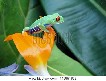 Red eye tree frog climbing on orange bird of paradise flower with natural green background.