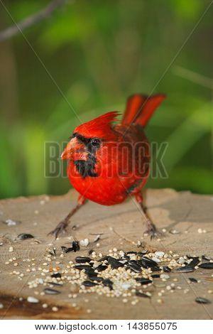 Red Bird A Northern Cardinal Male Partaking Of A Free Lunch Cardinalis cardinalis