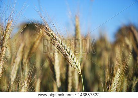 Growing rye corn closeup in a farmers field