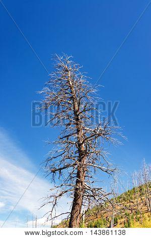 Huge Dead Tree