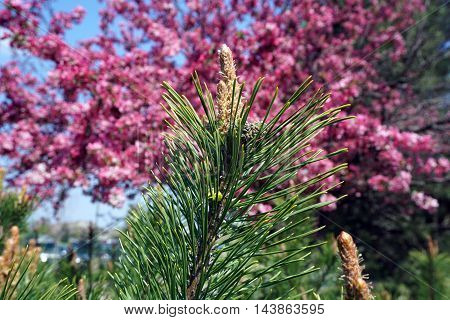 The tip of a branch of a red pine tree (Pinus resinosa) growing during April in Joliet, Illinois.