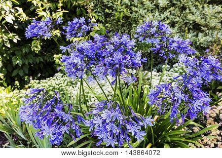 Blue Agapanthus flowering plant in summer garden
