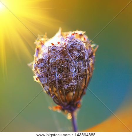 Romantic back lit dried flower head. dry inflorescence