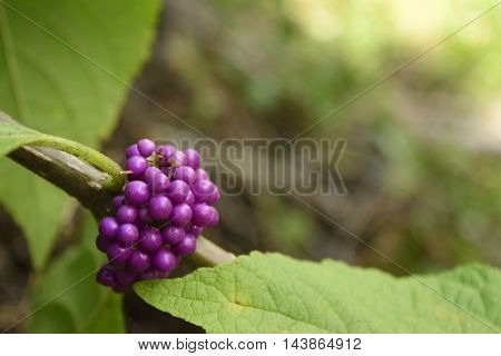 Bunch of purple berries and leaves with blurred background