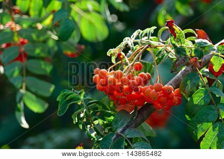 Fruits of mountain ash on a bright sunny day in the forest. Focus on a bunch of rowan. Shallow depth of field