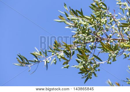 Green Olive Tree Branches With Fruits Over Blue Sky