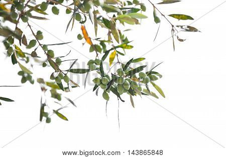 Green Olive Tree Branches With Fruits Isolated