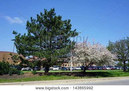 A crab apple tree blossoms next to a red pine tree in a traffic island during April in Joliet, Illinois.