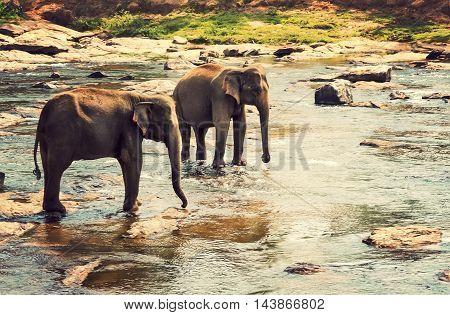 Elephants Herd Attraction River Water