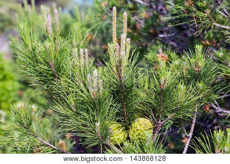 Pine tree twig closeup with green cones.