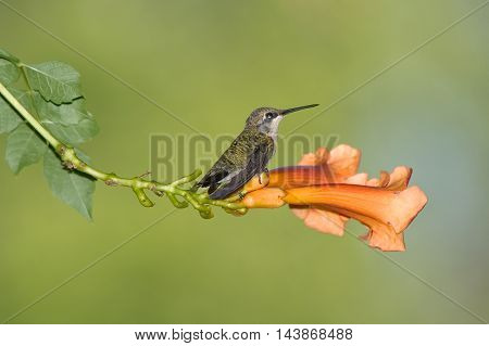 Archilochus colubris Ruby-Throated Hummingbird Female On An Orange Trumpet Lily