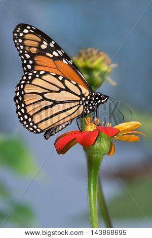 Monarch Butterfly On A Red Flower Danaus plexippus