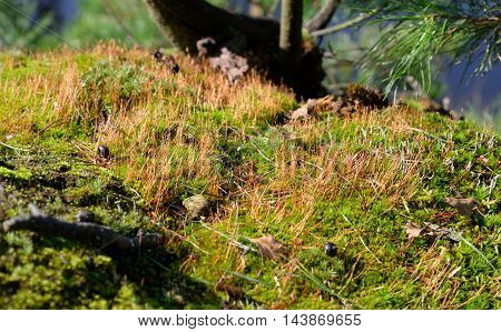 Beautiful green moss in the forest close up.