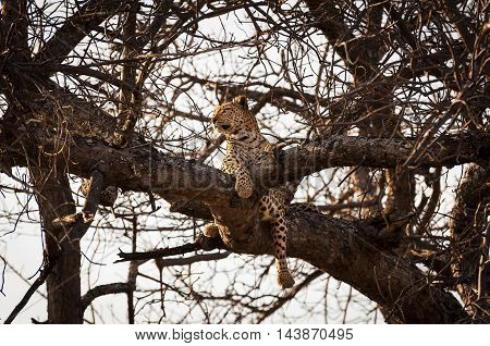Leopard resting in the branches of a tree in the Okavango Delta in Botswana Africa; Concept for travel safari and travel in Africa