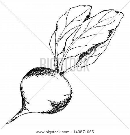 Monochrome sugar beet vegetable sketched line art vector