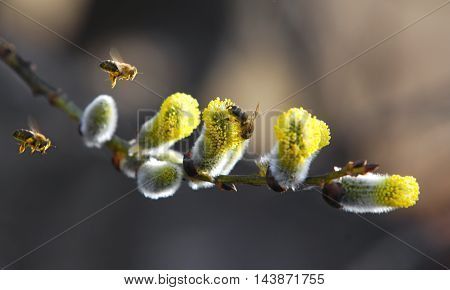 Willow is pollinated by bees, branch, bumble, catkin, close,