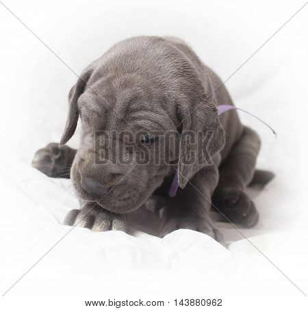 Purebred Great Dane puppy that looks mad being woken up
