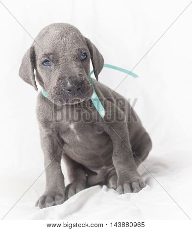 Great Dane puppy with gray hair that does not seem to believe what it is seeing