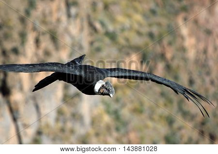 Andean condor flying very close and looking to us. Colca canyon in the peruvian mountains