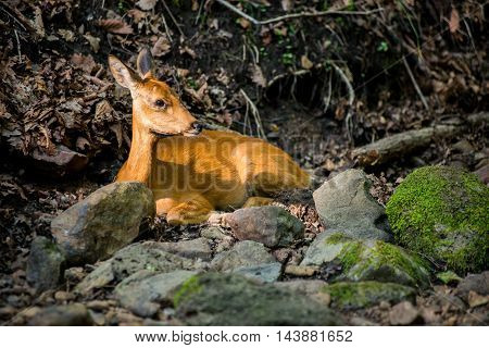 European roe deer western roe deer chevreuil or roe deer