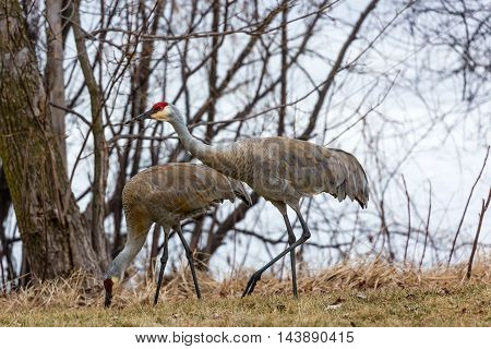 Two Sandhill Cranes eating and walking by brush.
