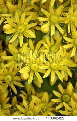A group of little Aeonium Arboreum flowers