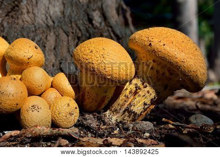 A group of orange Gymnopilus mushrooms in the forest