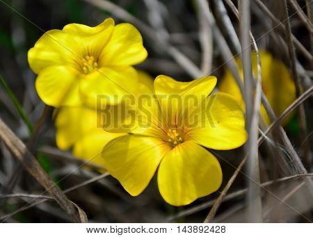 Yellow Oxalis on a wild booked soil