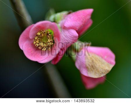 Tree Malus floribunda (apple) flower over a green background