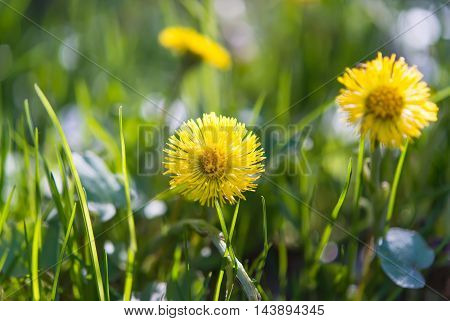 flowers mother and stepmother growing in the meadow