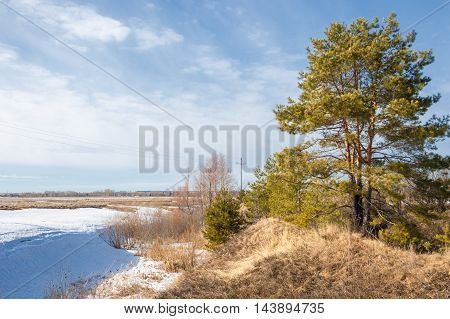 Spring in the field. last snow. pine tree. springtime springtide prime