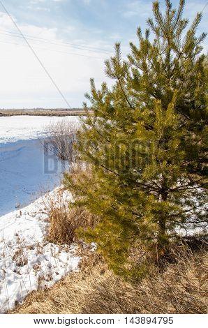 Spring In The Field. Last Snow. Pine Tree. Springtime, Springtide, Prime